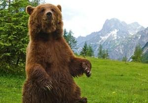 Un orso bruno si appoggia sulle zampe posteriori e si alza per scrutare gli odori nelle circostanze