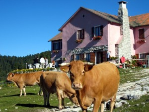 Vacche al pascolo a alla malga di Campo Mandriolo.