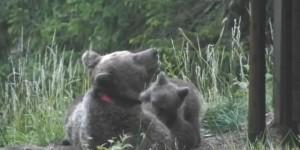 L'orsa Danica, 18 anni, introdotta in Trentino dalla Slovenia, con i suoi cuccioli.