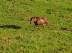 Un cavallo al pascolo su un prato dell'Altopiano di Asiago. I Veneti preromani erano allevatori di cavalli.