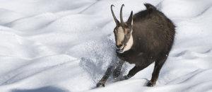 Una bella foto di un camoscio in movimento tratta dal sito del Parco dello Stelvio in Trentino