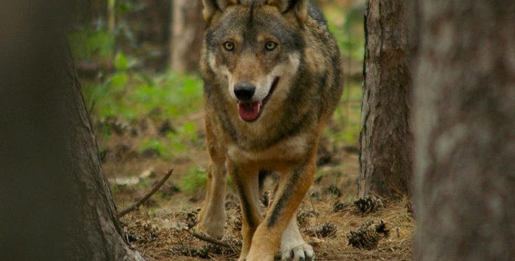Avvistato un lupo in val Galmarara vicino alla mandria