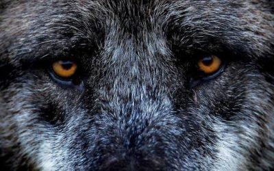 In Veneto il lupo è salvo … per ora!