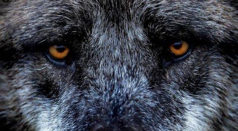 In Veneto il lupo è salvo ... per ora!
