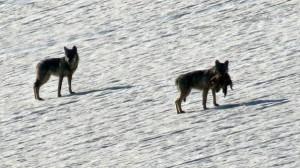 Coppia di lupi della Lessinia con una marmotta tra i denti.
