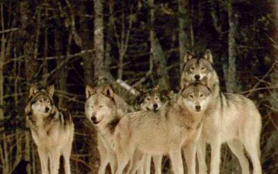 Sui lupi in Lessinia il Ministero dell'Ambiente chiede spiegazioni