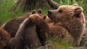 Mamma orsa coccola i suoi orsetti.