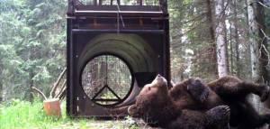 Un orso si rilassa davanti ad una trappola a tubo e se ne guarda bene di entrare. Sembra quasi che, schiena a terra e zampe all'aria, si sbellichi dalle risate. M4 come lui non ci è cascato!