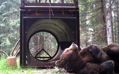 L'Orso Papillon dovrà essere catturato prima dell'apertura delle malghe: è problematico! [VIDEO]