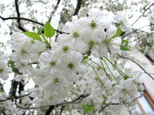 Nella foto fiori primaverili di marasko