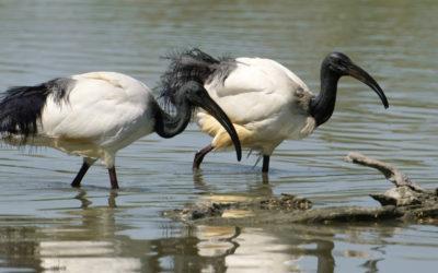 ibis sacri e centinaia di aironi si rifugiano a villa Contarini di Piazzola sul Brenta