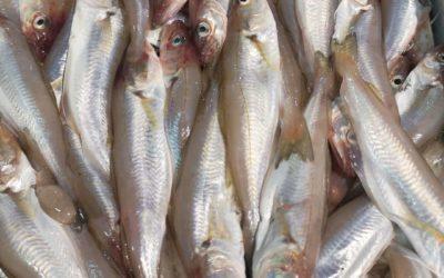 Occhio al pesce fresco perché in Adriatico c'è il fermo pesca