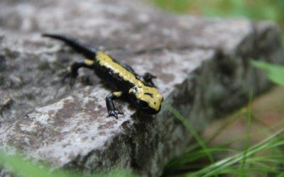 Dopo Vaia in Altopiano di Asiago la salamandra di Aurora è in pericolo di estinzione: esposto WWF e intervento di Zanoni (PD)