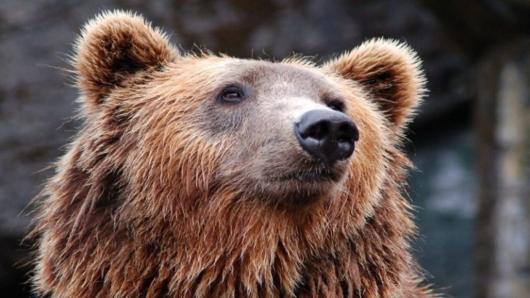L'orsa Gaia libera fino al 30 luglio: ma se ha solo difeso i suoi piccoli?
