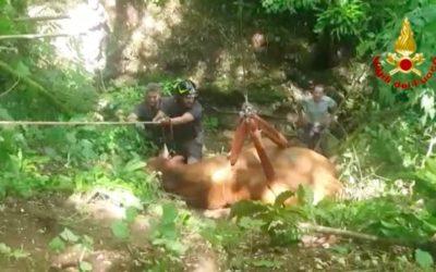 Toro scivola in un dirupo a San Pietro Mussolino: lo recuperano vivo e vegeto i Vigili del Fuoco [VIDEO]