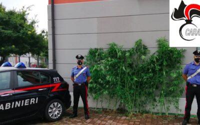 In serra tra 46 piante di marijuana coltiva anche pomodori e zucchine