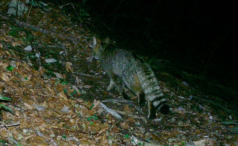 Parco Dolomiti Bellunesi: le prove che il gatto selvatico si riproduce in loco