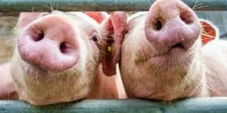 Covid-19 – La Cina dice stop alla carne suina italiana e veneta