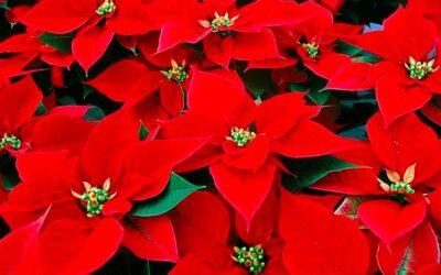 Covid-19 – Coldiretti: il DPCM salva 10 milioni di stelle di Natale e il lavoro dei florovivaisti