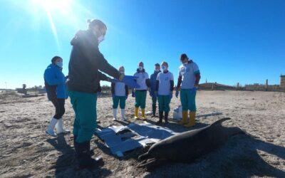 Delfino spiaggiato a Chioggia: primo caso Veneto 2021