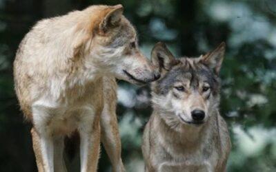 Due lupi stanziali sui colli Berici, ma i caprioli sono mille