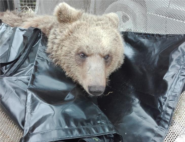 Dotato di radiocollare l'orso di Marlengo: nei giorni scorsi ha predato 4 ovini